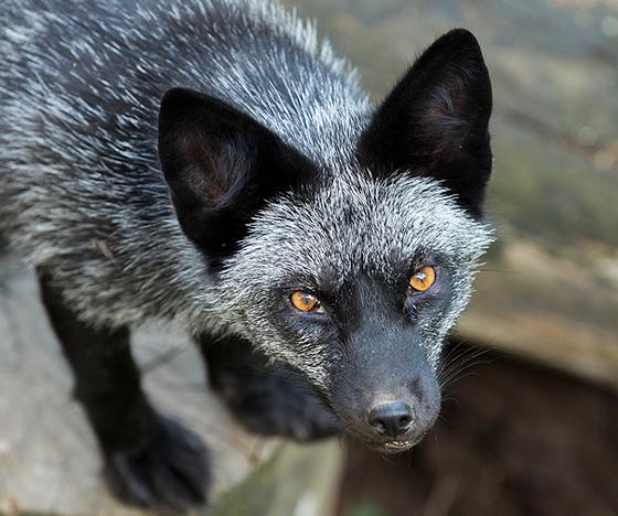 Russian Silver Fox-VAWM website