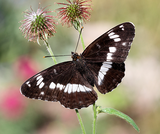 White Admiral Butterfly-VAWM website