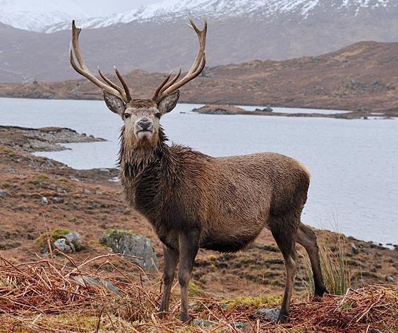 Red Deer-Animal Welfare-VAWM website