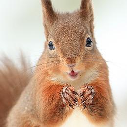 Red Squrrel