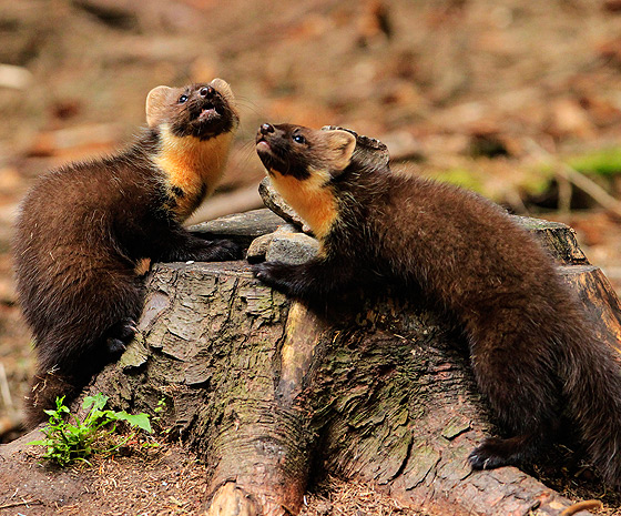Pine Martens-VAWM website