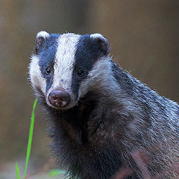 vawm-bbc-badger-report